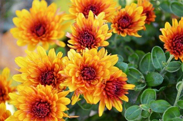 хризантема цветы  № 1353153 бесплатно