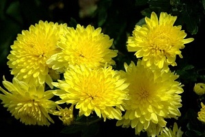 На Востоке цветы хризантемы добавляют в чай для восхитительного вкуса
