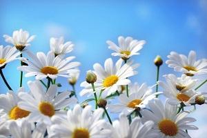 Ромашка – солнечный цветок, который раньше на Руси называли «ворожея»