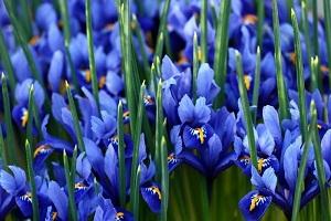 Изящные ирисы больше подходят для подарка мужчинам. В Японии название этого цветка звучит как «воинский дух»