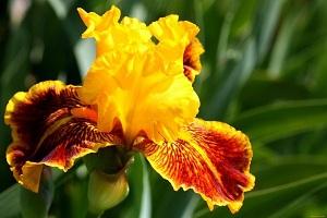 Существует примерно 800 видов цветов рода ирисов