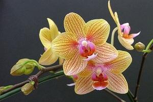 Восхитительная орхидея украсит своей красотой любое торжество