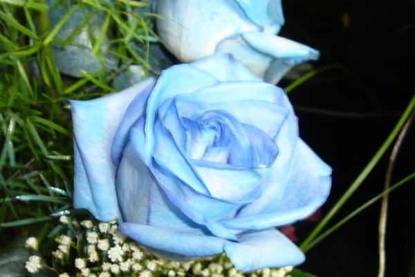 Голубые розы в обрамлении мелких белых цветов