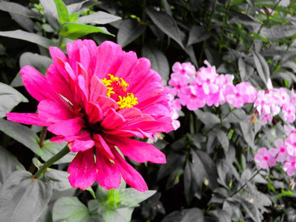 Сон цветы полевые